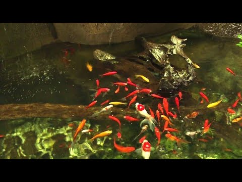 Aquarium de Paris (Cinéaqua): Neues Zuhause für verstoßene Goldfische