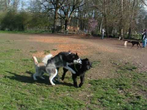 Video Newfoundland D'Artagnan Playing Rough at the Dog Park download in MP3, 3GP, MP4, WEBM, AVI, FLV January 2017