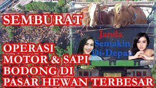 Download Video SEMBURAT!!! Operasi Motor dan Sapi Bodong Dipasar Hewan Terbesar MP3 3GP MP4