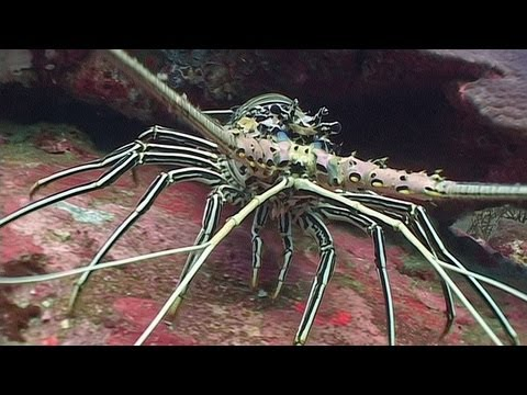 Spiny Lobsters And Swimming Crabs