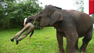Gajah serang pemiliknya di Bali saat memberi makan - TomoNews