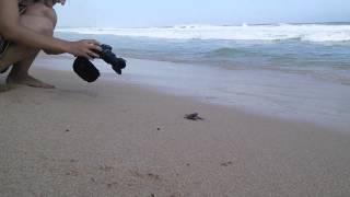 Habaraduwa Sri Lanka  city pictures gallery : Sea turtles in Habaraduwa beach Sri Lanka