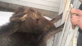 Rescue A Baby Moose Stuck In Fence