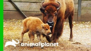 Newborn Baby Bison Gets Her First Medical Check-Up | The Zoo by Animal Planet
