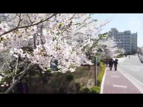 2019 한양 봄캠퍼스 10분 산책 (ft. 벚꽃, 개나리, 봄바람)