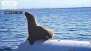 富山湾にひょっこりトド出現 たたずむ姿をカメラに