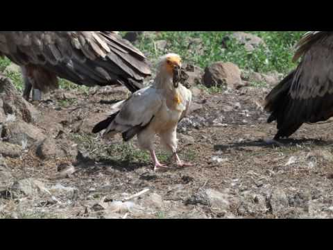 The life of the Egyptian vulture