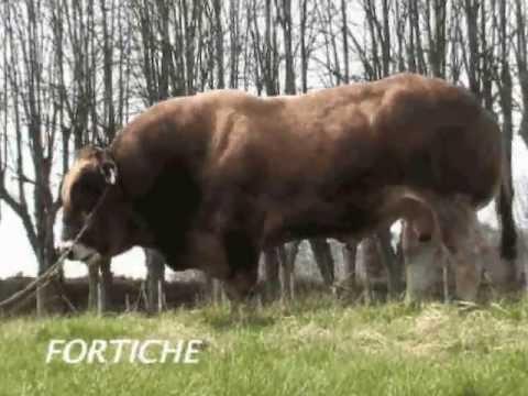 NOUVEAUTE, Fortiche le taureau Parthenais - Fabroca