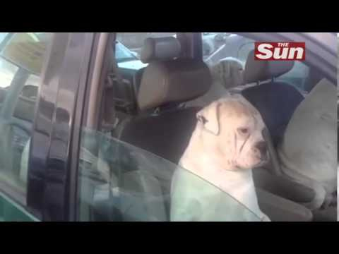 Gangster Dogs Chilling in a Car Are Too Cool for YouTube
