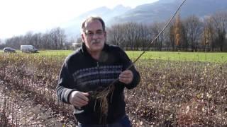 #537 Produktion von vegetativ vermehrten Obstunterlagen