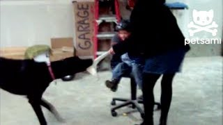 Dog Drags Kid Around In Rolling Chair By A Sock