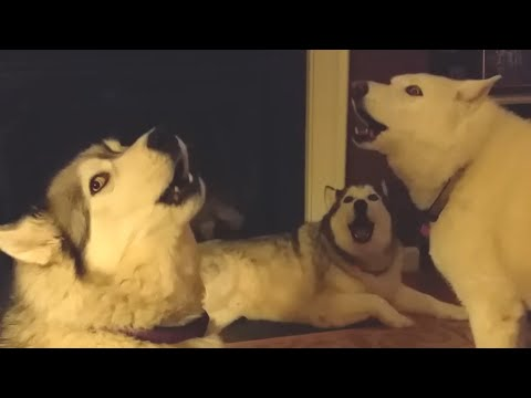 Pack Of Huskies Sing Together