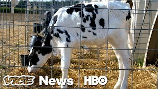 Video These Supercows Are Genetically Bred To Fetch Six Figures At Auction (HBO) MP3, 3GP, MP4, WEBM, AVI, FLV November 2018