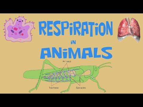 RESPIRATION IN ANIMALS