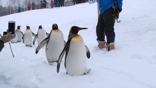 Asahikawa Japan  city pictures gallery : Penguin walk at Asahiyama Zoo, Asahikawa Japan. 旭山動物園のペンギンの散歩。