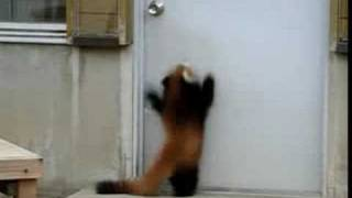 Jumping Red Panda YouTube video
