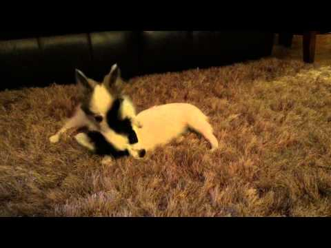 AKC Papillon female white and sable