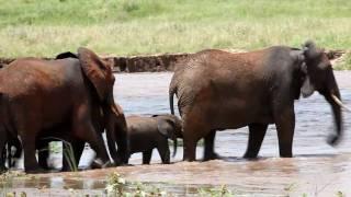 Tarangire Tanzania  city pictures gallery : Elephant River Rescue in Tarangire Tanzania Africa