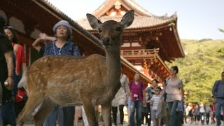 Nara Japan  city pictures gallery : Nara Deer visit the temple - Japan: Earth's Enchanted Islands: Episode 1 Preview - BBC Two