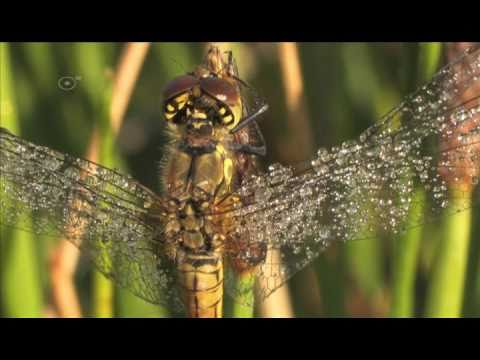 Odonata - A short film on dragonflies and damselflies, showing the entire life-cycle.