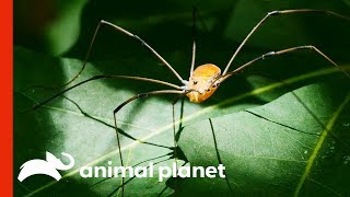 Is This An Arachnophobe's Worst Nightmare?! | Weird, True & Freaky by Animal Planet