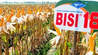 Jagung Super Hibrida BISI-18, Super Hasilnya