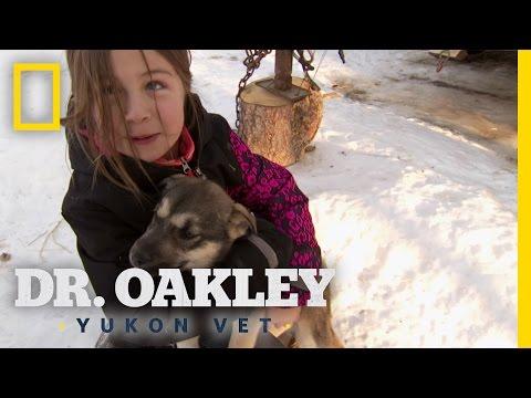 Yukon Vet Behind the Scenes: Rowdy Sled Dog Pups 25 October 2014 07 PM