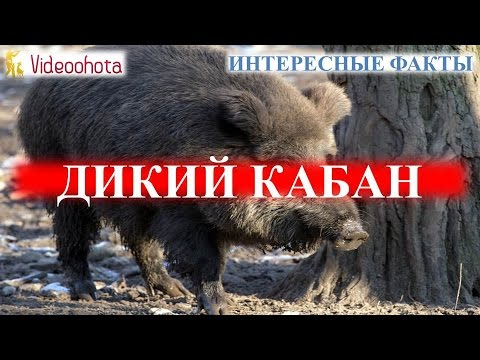 Дикий кабан! ИНТЕРЕСНЫЕ факты - Videoohota (видео)