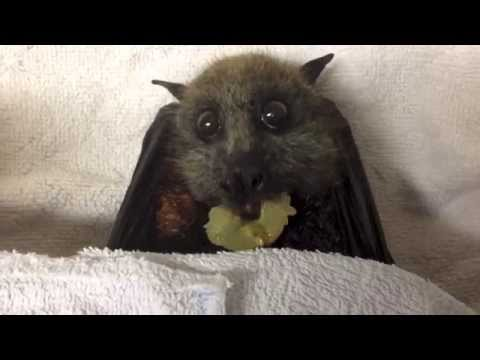 Bat eats grapes