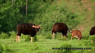 gaur with young calf at khao paeng ma non-hunting area
