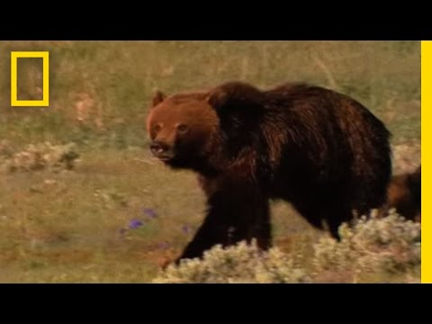 Grizzly Bears vs. Wolves in Yellowstone | National Geographic