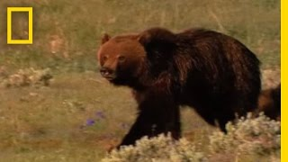 Video Grizzly Bears vs. Wolves in Yellowstone | National Geographic MP3, 3GP, MP4, WEBM, AVI, FLV Agustus 2017