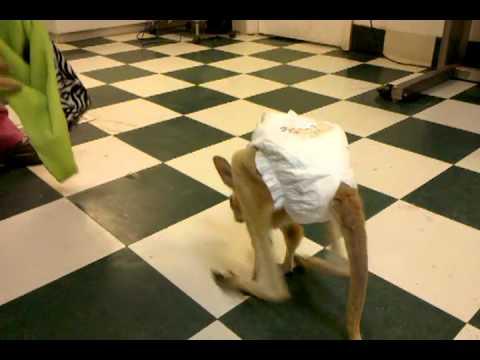 Il baby canguro si rotola nella borsa