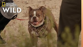 A Dog With a Mean Bite | Dog: Impossible by Nat Geo WILD
