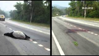 Kuala Pilah Malaysia  city pictures gallery : Tapir Missing After Hit And Run Accident in Kuala Pilah