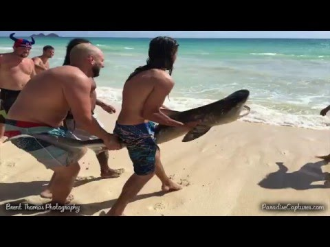 Beach rescuers in Hawaii saved an injured tiger shark – an incredible video!
