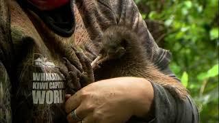 Diferente do Brasil, o kiwi na Nova Zelândia é um pássaro exótico e símbolo do país. A equipe do Câmera Record contou com a ajuda de voluntários e um cão desbravador para encontrar esta ave rara.