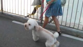 訓練前 Dog Training 2歲 Cable 貴婦狗 Poodle 犬隻訓練