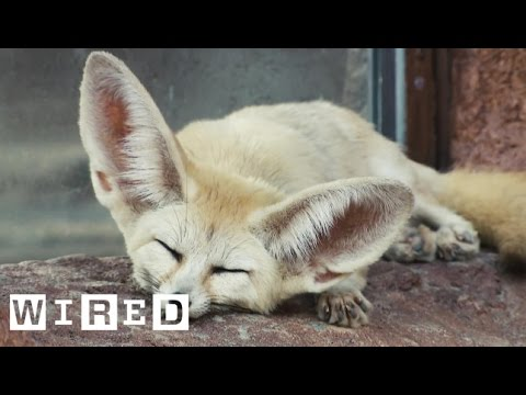 Why the Tiny Fennec Fox Has Such Enormous Ears