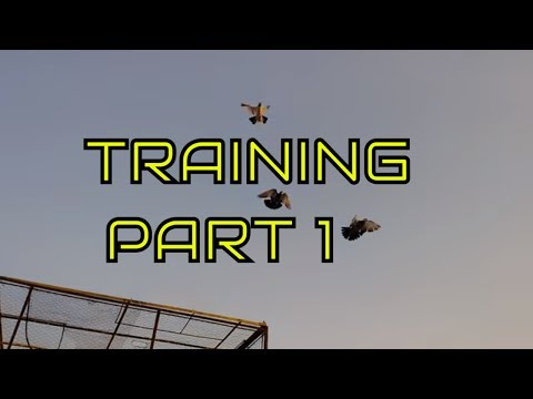 Training high flying pigeons-letting your pigeons out side the loft - Pigeons Training part one