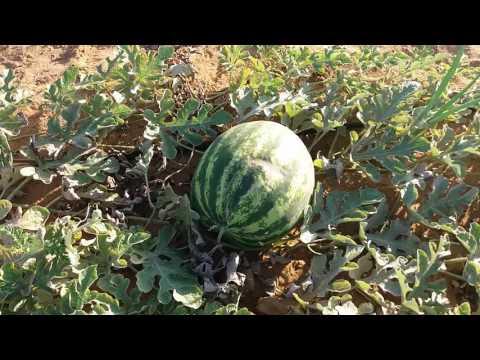 Plantação de melancia em ourolandia bahia