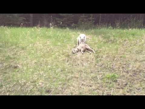 Wolf Attack on Big Horn Sheep -Kananaskis- Rare Jukin Media Verified (Original)