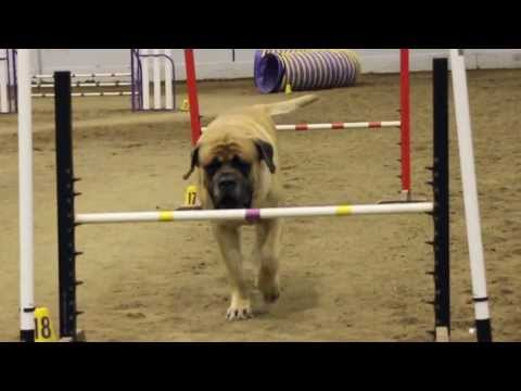 Mastiff Competing At Dog Agility at The Denver Dog Show