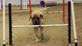 Nonton Mastiff Competing At Dog Agility Film Subtitle Indonesia Streaming Movie Download