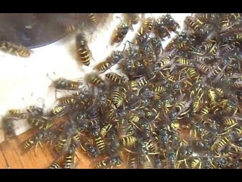 Wasp Sucking Machine