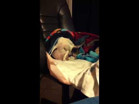 Chihuahua giving birth part 2