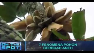 Video On The Spot Trans 7 Terbaru 11 Februari 2016 Fenomena Pohon Berbuah Aneh MP3, 3GP, MP4, WEBM, AVI, FLV Januari 2019