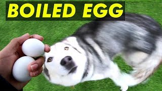 Confused Husky Tries Boiled Egg For The First Time..... (Da Rat Lost In Long Grass)