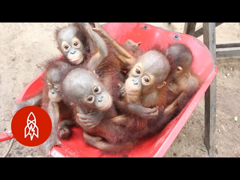 Believe it or not: Pre-school for baby orangutans. Could there be anything cuter?