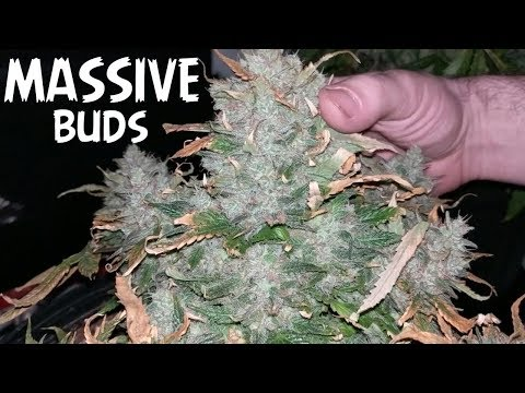 HARVESTING THE BIGGEST BUDS OF MY LIFE